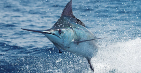 a73699_Marlin_Pic_Page.png